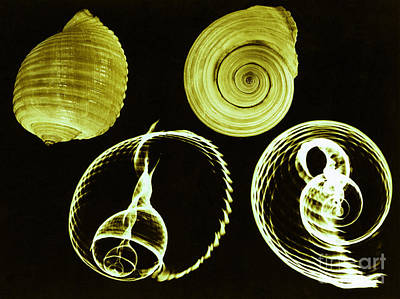 Photograph - Tun Shell X-ray by Photo Researchers
