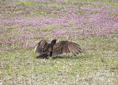 Photograph - Turkey Vulture by Jack R Brock