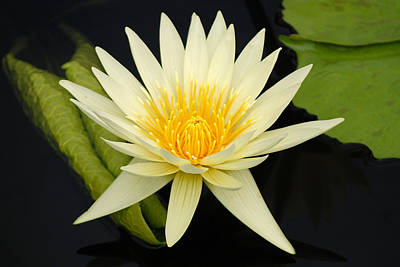 Photograph - Water Lily by Harvey Barrison