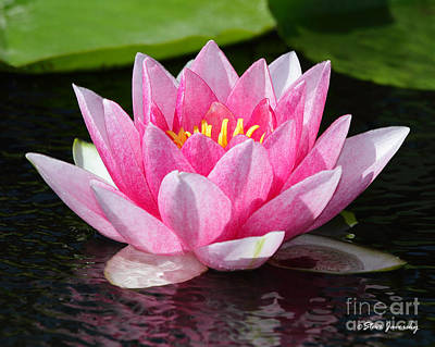 Photograph - Water Lily by Steve Javorsky