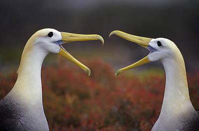 Waved Albatross Phoebastria Irrorata Art Print by Tui De Roy