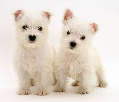 West Highland White Terriers Print by Jane Burton