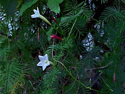 Impressionist Style Photograph - 2 White Cypress Vine Blossoms On Lattice by Padre Art