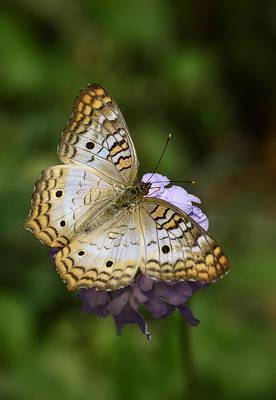 White Peacock Photograph - White Peacock Butterfly  by Saija  Lehtonen