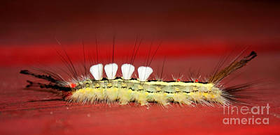 Photograph - White Tussock Caterpillar by Barbara McMahon