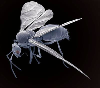 Winged Ant, Sem Art Print by Steve Gschmeissner