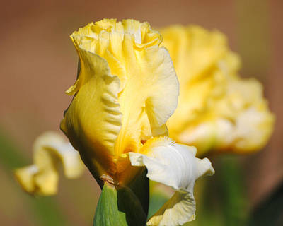 Photograph - Yellow And White Iris by Jai Johnson