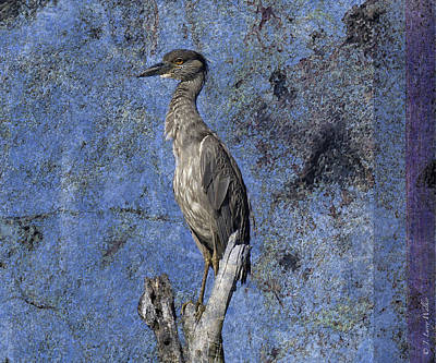 Digital Art - Yellow-crowned Night Heron by J Larry Walker