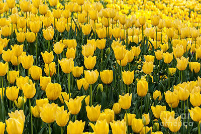 Photograph - Yellow Tulips by Fran Woods