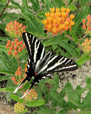Photograph - Zebra Swallowtail by Peg Urban