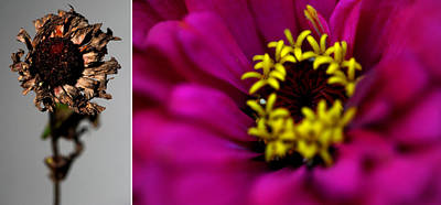 Photograph - Zinnia by Frank DiGiovanni