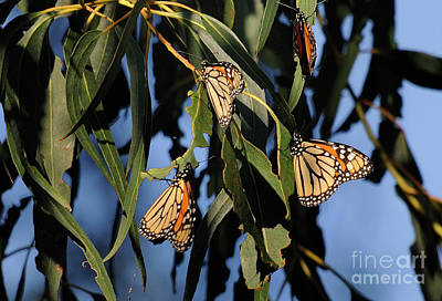 Butterflies Art Print by Marc Bittan