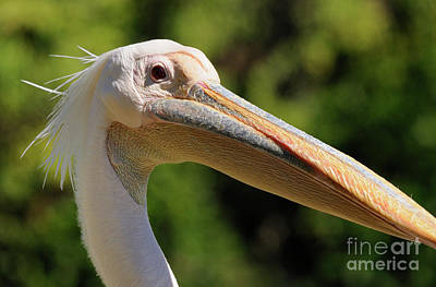 Pelican Art Print by Marc Bittan