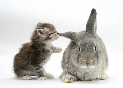 Photograph - Kitten And Rabbit by Mark Taylor