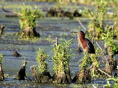 Photograph - Green Heron by Jack R Brock