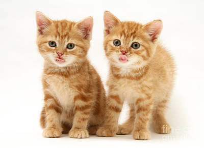 Photograph - Kittens by Jane Burton