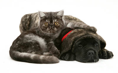 Mastiff Pup Photograph - Kitten And Puppy by Jane Burton