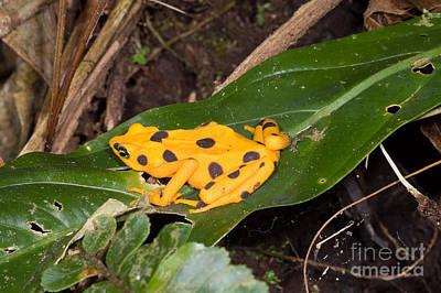 Panama Wildlife Photograph - Harlequin Toad by Dante Fenolio