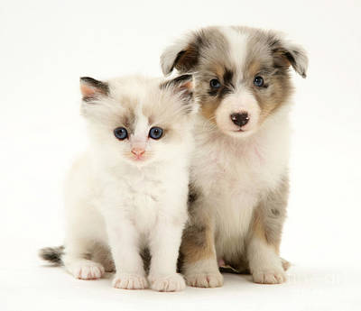 Sable Sheltie Photograph - Kitten And Puppy by Jane Burton