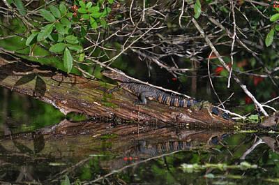 Photograph - 27- Juvenile Alligator by Joseph Keane