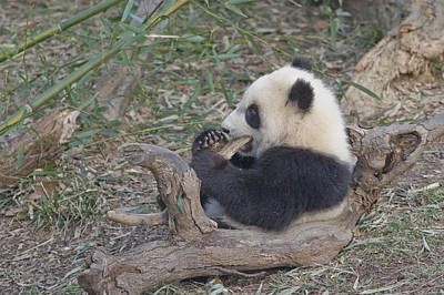 A Baby Panda Plays On A Branch Art Print by Taylor S. Kennedy