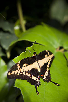 Papilio Thoas Photograph - A Butterfly Rests On A Leaf by Taylor S. Kennedy