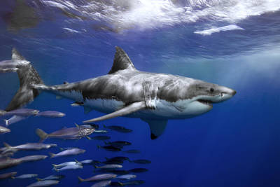 Great White Death Photograph - A Great White Shark Swims In Clear by Mauricio Handler