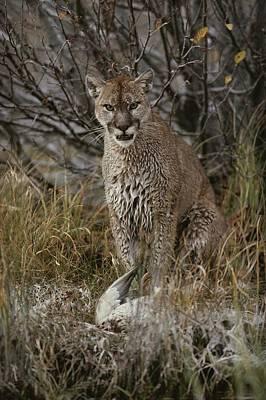 A Mountain Lion, Felis Concolor Art Print by Jim And Jamie Dutcher