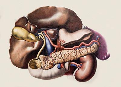 Abdominal Organs Art Print