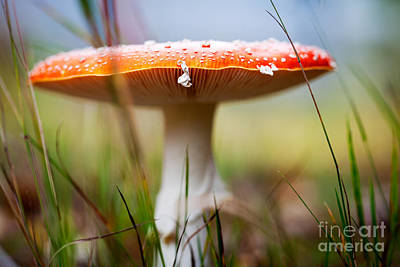 Photograph - Amanita by Kati Molin