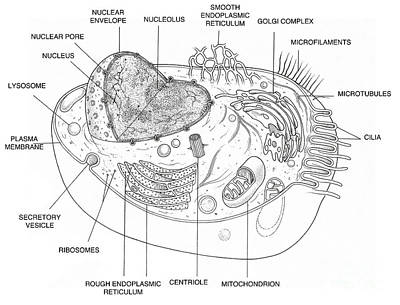 Er Photograph - Animal Cell Diagram by Science Source