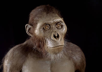 Fossil Reconstruction Photograph - Australopithecus Afarensis by Javier Truebamsf