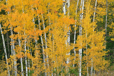 Kids Cartoons - Autumn Aspens by Dean Pennala