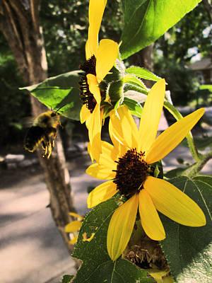 Bee And Sunflower  Art Print by Jon Baldwin  Art