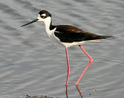 Photograph - Black Necked Stilt by Ira Runyan