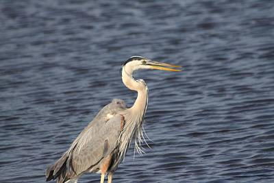 Blue Heron Art Print by Jeanne Andrews