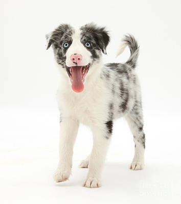 Blue Merle Border Collie Pup Print by Mark Taylor