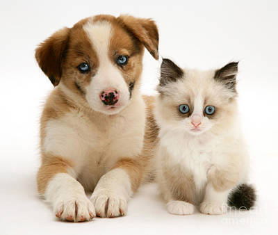 Border Collie And Birman-cross Kitten Art Print