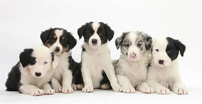 House Pet Photograph - Border Collie Puppies by Mark Taylor