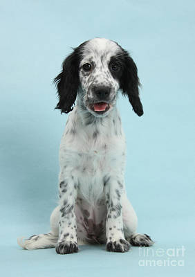 Border Collie X Cocker Spaniel Puppy Print by Mark Taylor