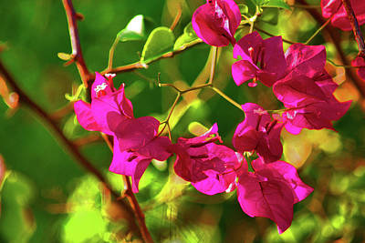 Photograph - 3- Bougainvillea by Joseph Keane
