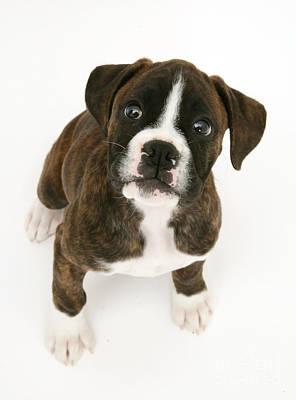 Brindle Boxer Photograph - Brindle Boxer Pup by Jane Burton