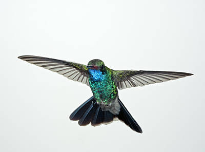 Broadbilled Hummingbirds Photograph - Broadbill Hummingbird by Gregory Scott