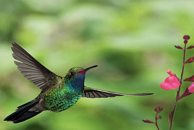 Broadbilled Hummingbirds Photograph - Broadbill Hummingbird In Flight by Gregory Scott