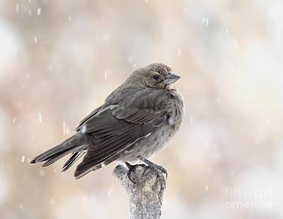 Photograph - Brown-headed Cowbird by Jack R Brock