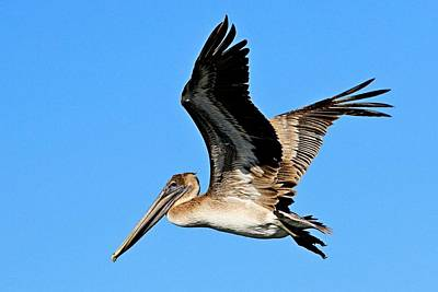 Photograph - Brown Pelican by Ira Runyan