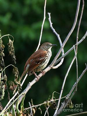 Photograph - Brown Thrasher by Jack R Brock