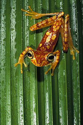 Photograph - Chachi Tree Frog Hyla Picturata by Pete Oxford
