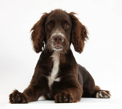 Photograph - Chocolate Cocker Spaniel by Mark Taylor