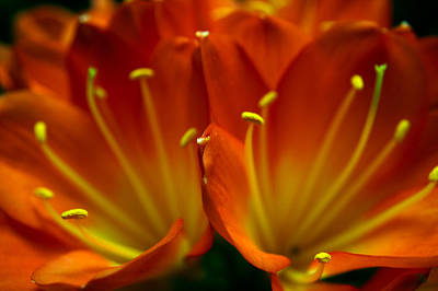 Clivia Bloom Art Print by PIXELS  XPOSED Ralph A Ledergerber Photography